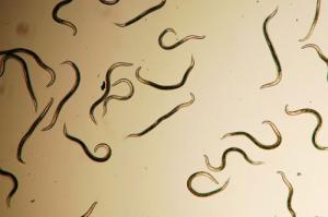 Вредные клещи и нематоды