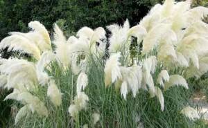 Пампасная трава в ландшафтном дизайне