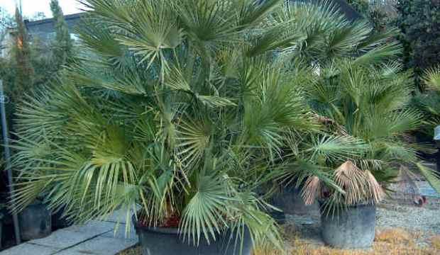 Веерные пальмы - использование в озеленении зимнего сада