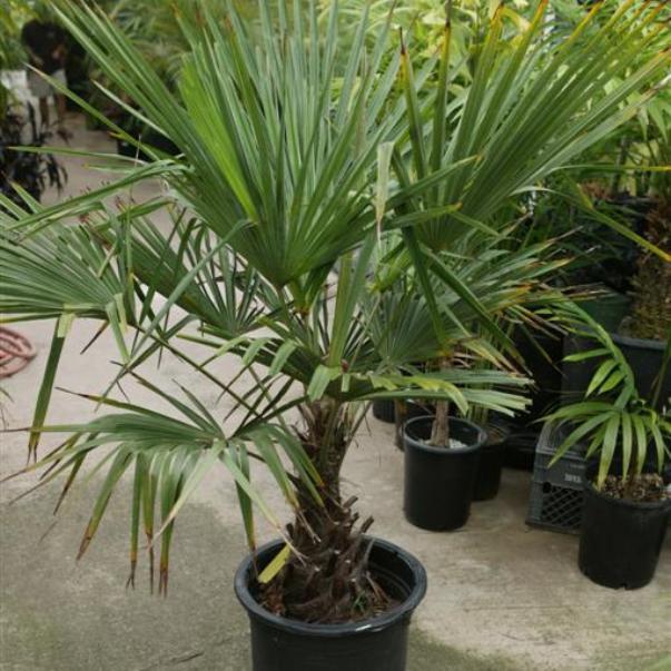 Веерные пальмы – использование на открытых площадках