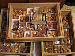 Условия зимнего хранения луковиц гладиолусов