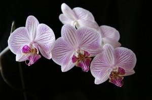 Причины гибели орхидеи