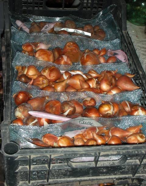 Январь, пора проверить условия хранения луковиц цветочных растений