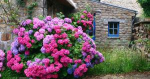 О гортензиях не говорят, этими цветами просто любуются!