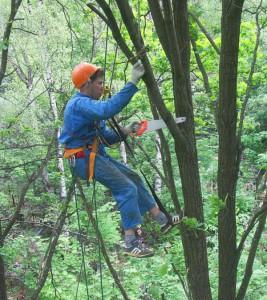 Кронирование, обрезка и срез деревьев