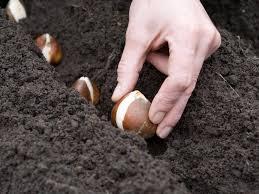 Время высаживать луковичные цветы
