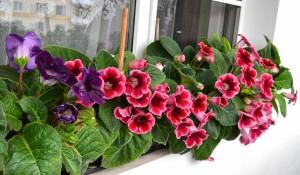 Глоксиния – невероятное украшение домашней оранжереи
