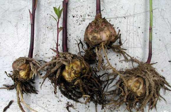 Для чего необходим предпосадочный прогрев корневищ и луковиц