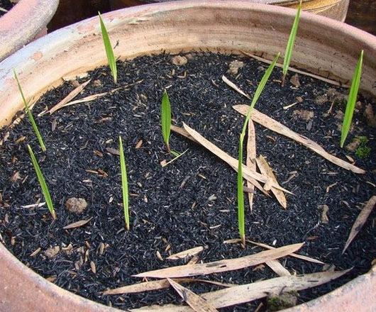 Выращивание веерных пальм из семян