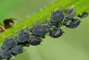 Тля – опасный сосущий вредитель зеленых насаждений