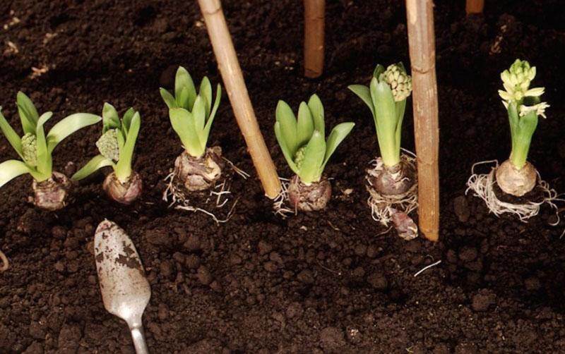 Обязательно ли выкапывать луковичные первоцветы?