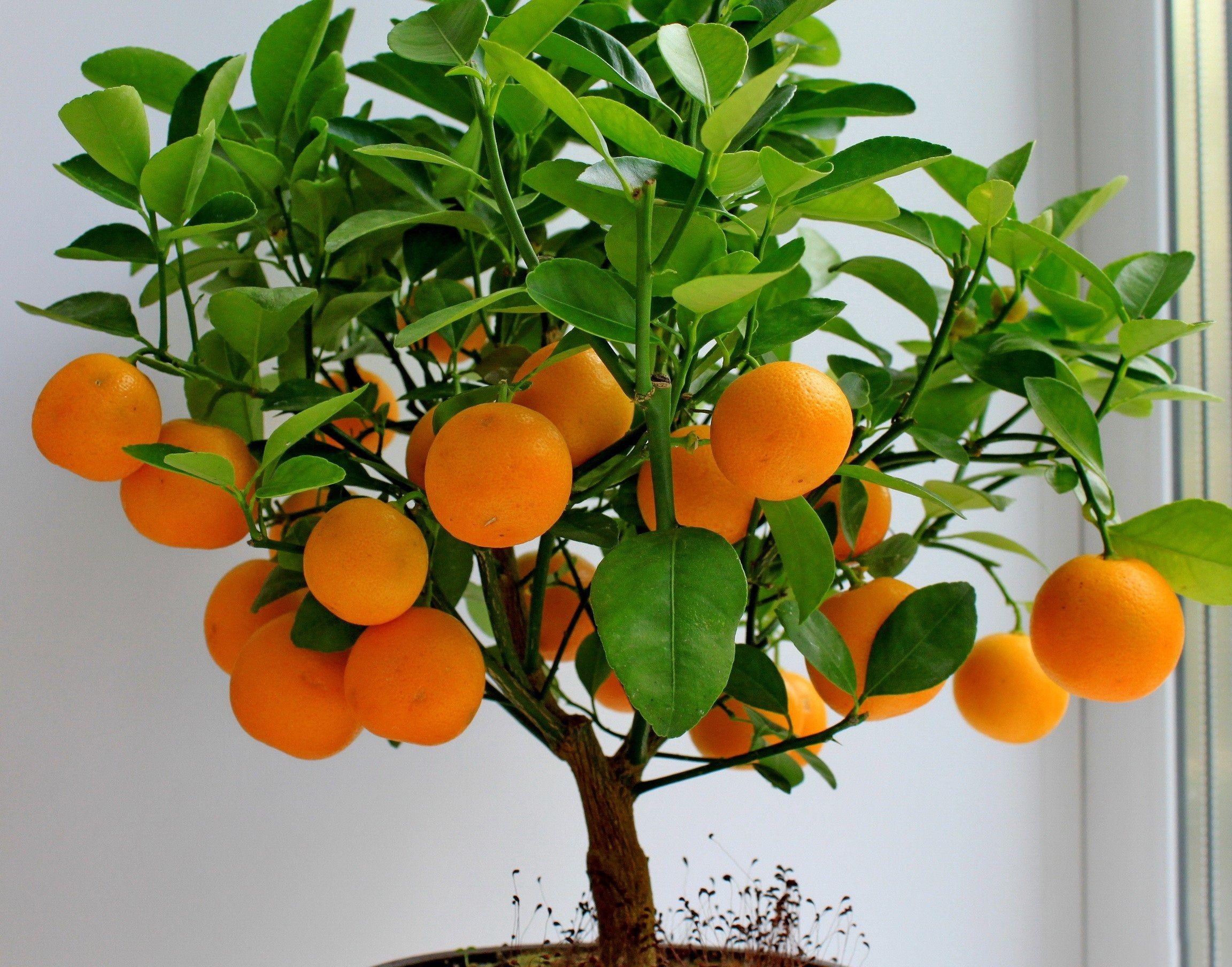 Купить апельсиновое дерево в Москве
