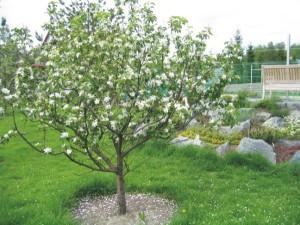 Плодовые деревья в ландшафтном дизайне