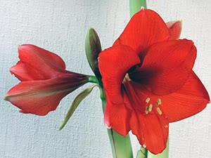 Как вырастить амариллис в домашних условиях?