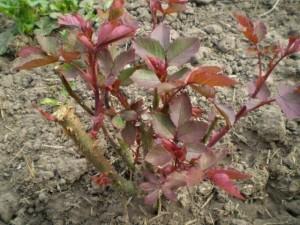Правильная подкормка роз весной