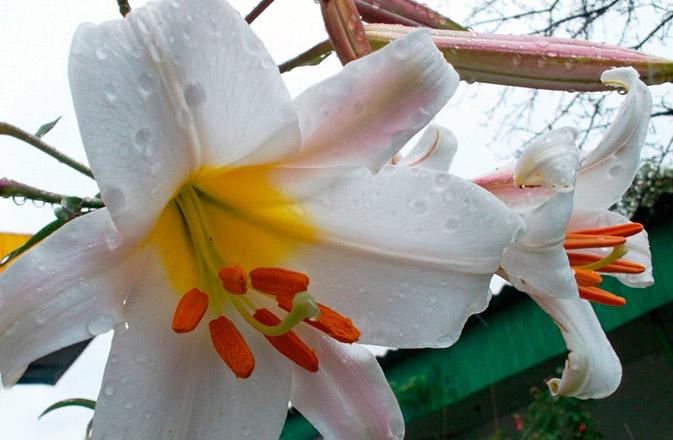 Садовая лилия в ландшафтном дизайне