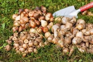 Сезон выкопки луковичных первоцветов